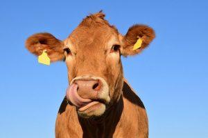 rasa krów