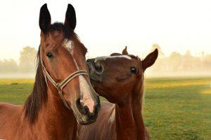 zachowanie konia